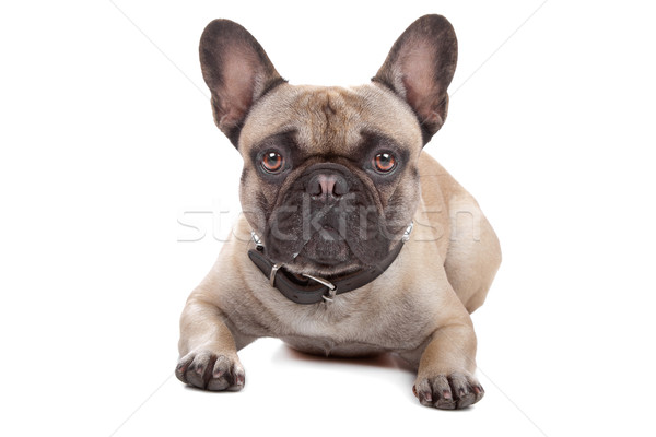 French Bulldog isolated on white Stock photo © eriklam