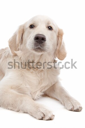Golden retriever chien blanche Photo stock © eriklam