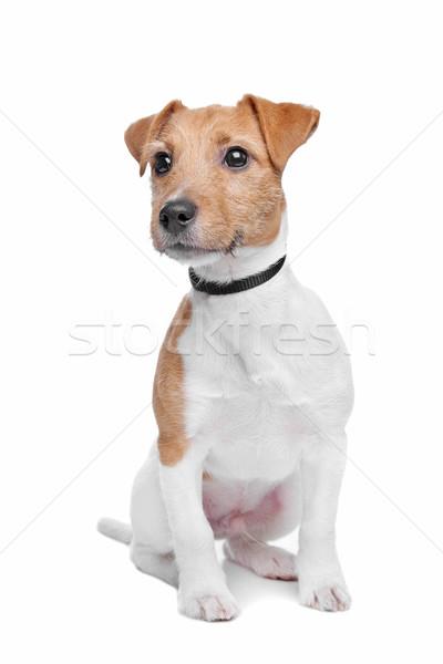 Jack Russel Terrier dog Stock photo © eriklam