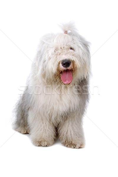 old english sheepdog, bobtail Stock photo © eriklam