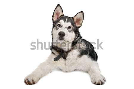 子犬 白 幸せ 動物 スタジオ ストックフォト © eriklam