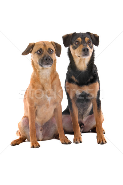 Two cute mixed breed dogs looking forward, isolated on a white background Stock photo © eriklam