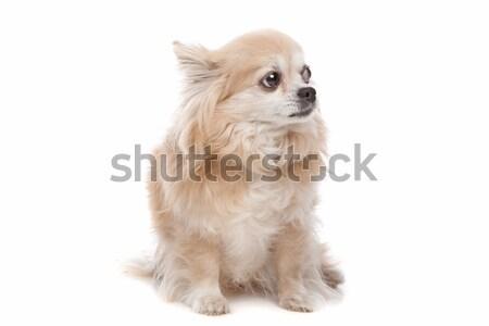 Soft coated wheaten terrier dog Stock photo © eriklam