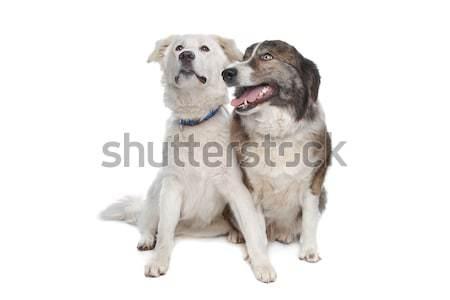 Atlas montanha cão branco Foto stock © eriklam