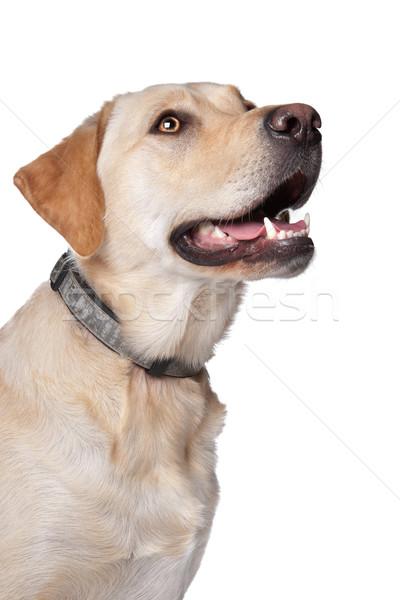 Geel labrador retriever hond witte achtergrond witte achtergrond Stockfoto © eriklam