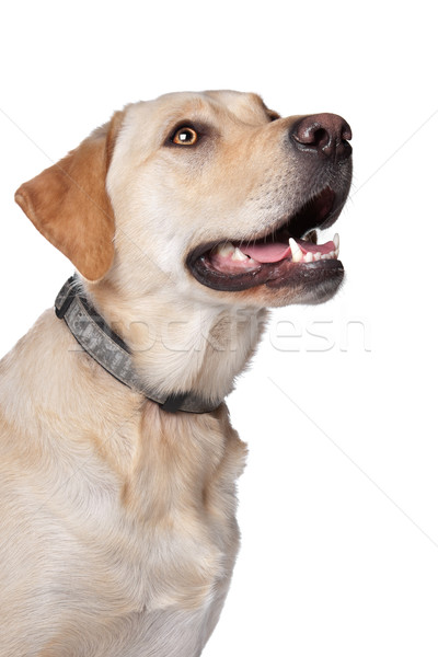 желтый Лабрадор ретривер собака белый фон белом фоне Сток-фото © eriklam
