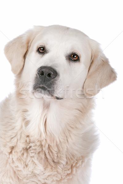 Golden retriever biały studio domowych ssak Zdjęcia stock © eriklam