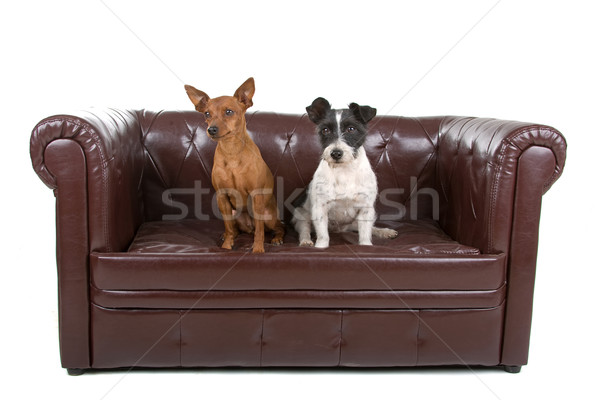 miniature pinscher and a jack russel terrier dog  Stock photo © eriklam