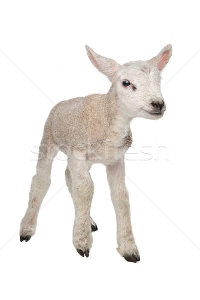 ягненка белый ребенка овец животного новых Сток-фото © eriklam