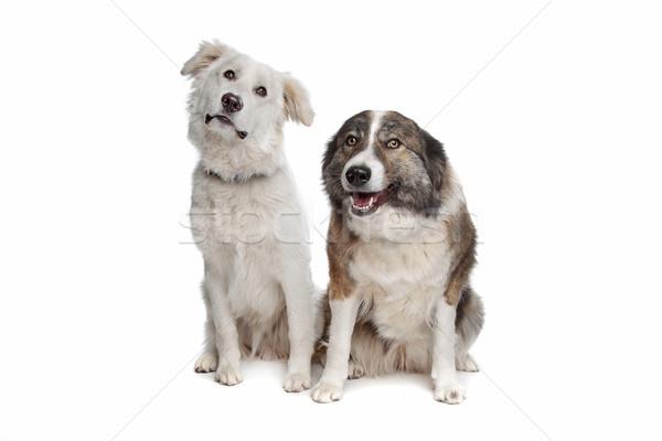 Atlas berg hond witte Stockfoto © eriklam