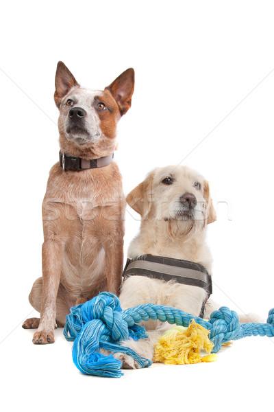 Labrador bovins chien blanche Photo stock © eriklam