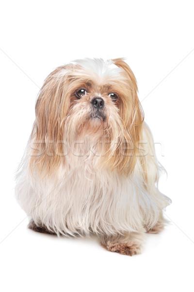 Hosszú hajú kis kutya fehér kutya háttér állat Stock fotó © eriklam