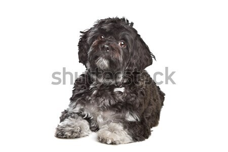 little black boomer dog Stock photo © eriklam