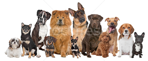 Group of twelve dogs Stock photo © eriklam