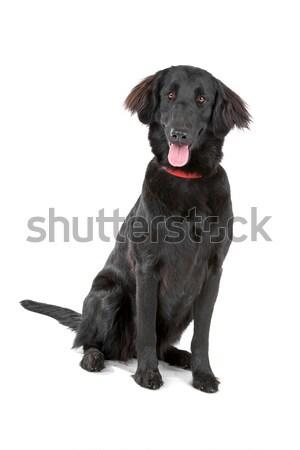 flat coated retriever dog Stock photo © eriklam