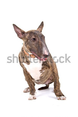 English bull terrier, bully, gladiator Stock photo © eriklam