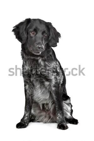 Stabyhoun,Frisian pointing breed Stock photo © eriklam