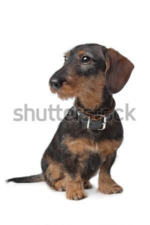 Stock photo: black and tan dachshund