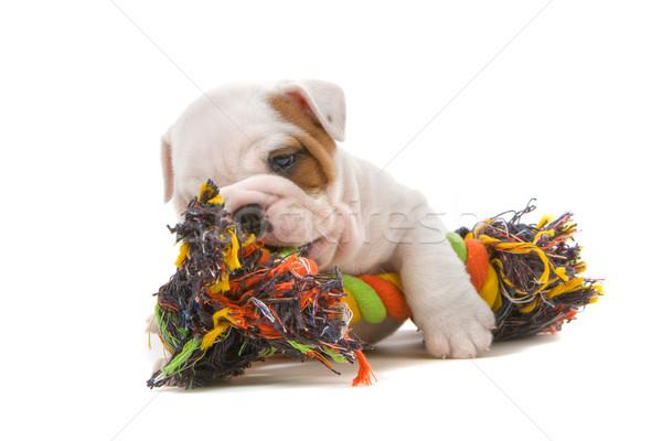 Photo stock: Bulldog · chiot · cute · jouer · corde · isolé