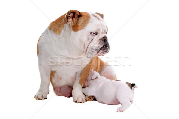 Photo stock: Anglais · bulldog · Homme · chiot · isolé