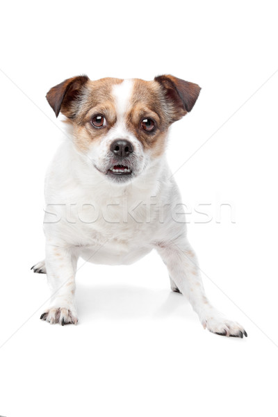 Cute mixed breed dog Stock photo © eriklam