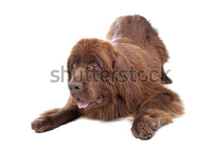 Brown Newfoundland dog Stock photo © eriklam