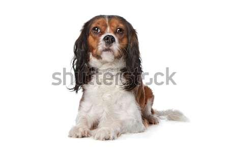 Rei cão isolado branco amigo fundo branco Foto stock © eriklam