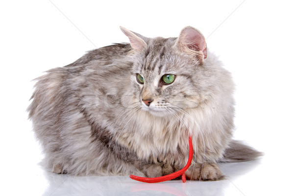norwegian long haired forest cat  Stock photo © eriklam