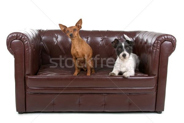 miniature pinscher and a jack russel terrier dog  Stock photo © eriklam