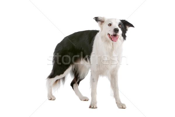 ボーダーコリー 牧羊犬 孤立した 白 犬 徒歩 ストックフォト © eriklam