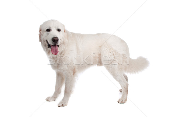 Polish Tatra Sheepdog Stock photo © eriklam