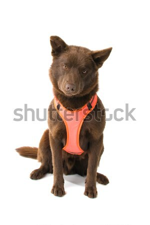 australian sheepdog kelpie (barb) Stock photo © eriklam