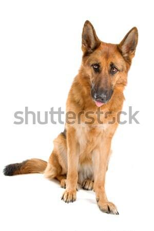 german shepherd dog Stock photo © eriklam
