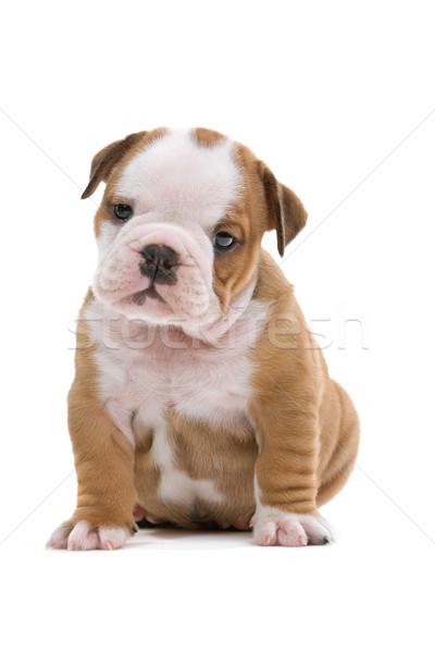 英語 ブルドッグ 子犬 かわいい 座って 孤立した ストックフォト © eriklam