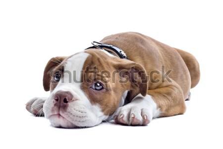 Köpek yavrusu boksör zemin yalıtılmış beyaz köpek Stok fotoğraf © eriklam