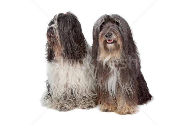 two Tibetan Terrier dogs Stock photo © eriklam