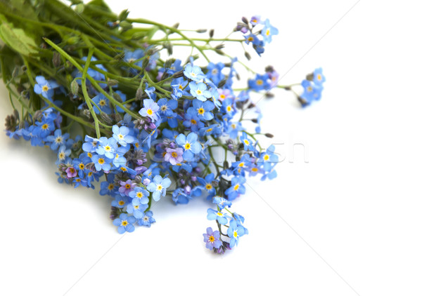 forget-me-not Stock photo © Es75