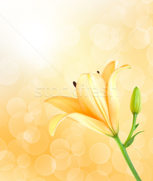 Yellow lily Stock photo © Es75