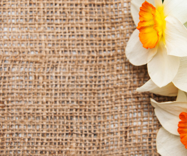 daffodil flowers on a burlap background Stock photo © Es75