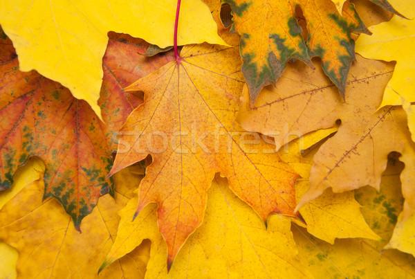 Caída hojas otono colorido arce textura Foto stock © Es75