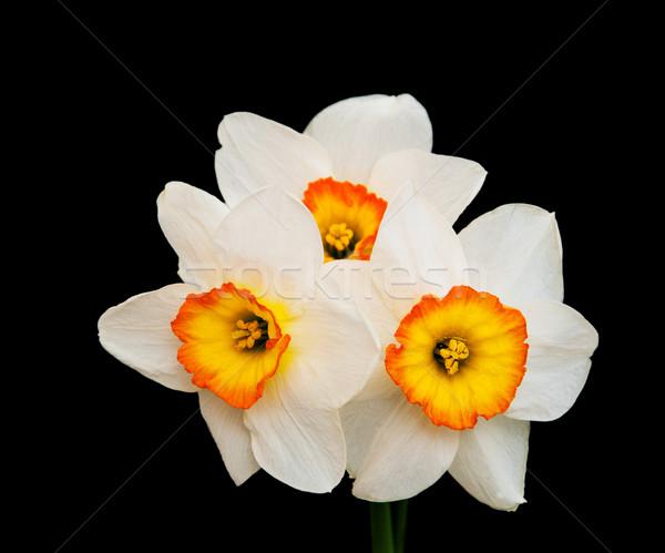 Daffodils on a black Stock photo © Es75