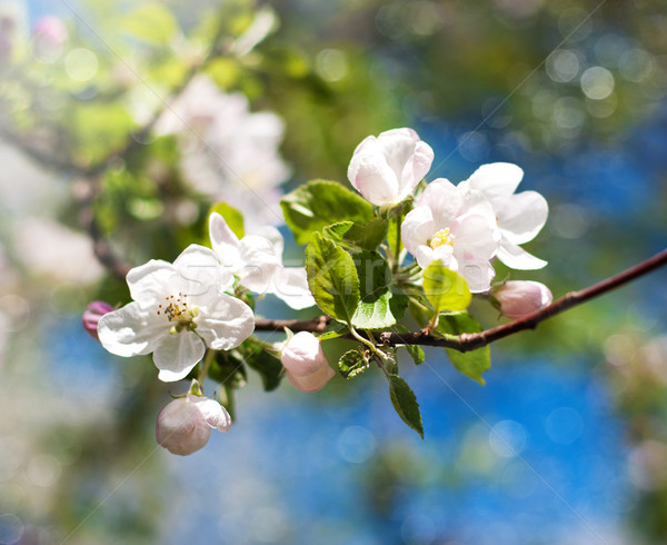 Spring apple blossom Stock photo © Es75