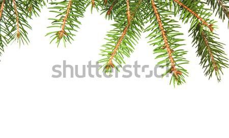 Kiefer grünen weiß Hintergrund Raum Winter Stock foto © Es75