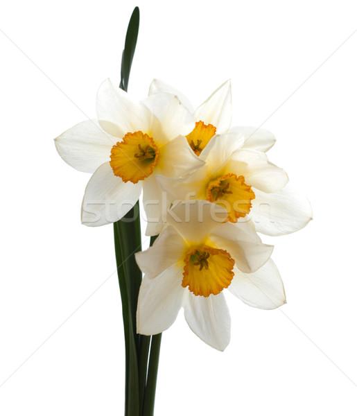 Nárciszok tavasz citromsárga nárcisz fehér virágok Stock fotó © Es75