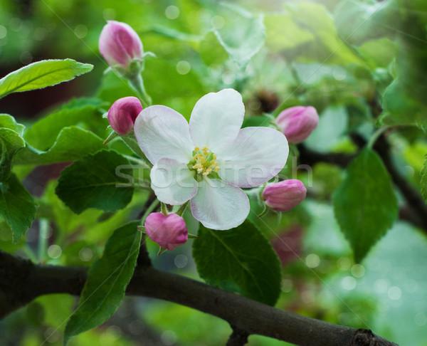 Bahar çiçekleri bahar elma çiçek doğa ışık Stok fotoğraf © Es75