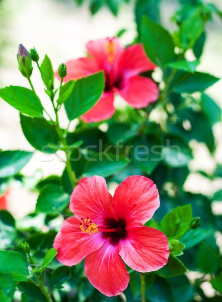 Stok fotoğraf: Kırmızı · ebegümeci · çiçekler · doğal · yeşil · çiçek