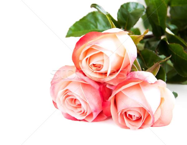 Pink rose on white Stock photo © Es75