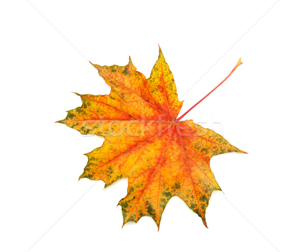 秋 カエデの葉 孤立した 白 森林 自然 ストックフォト © Es75