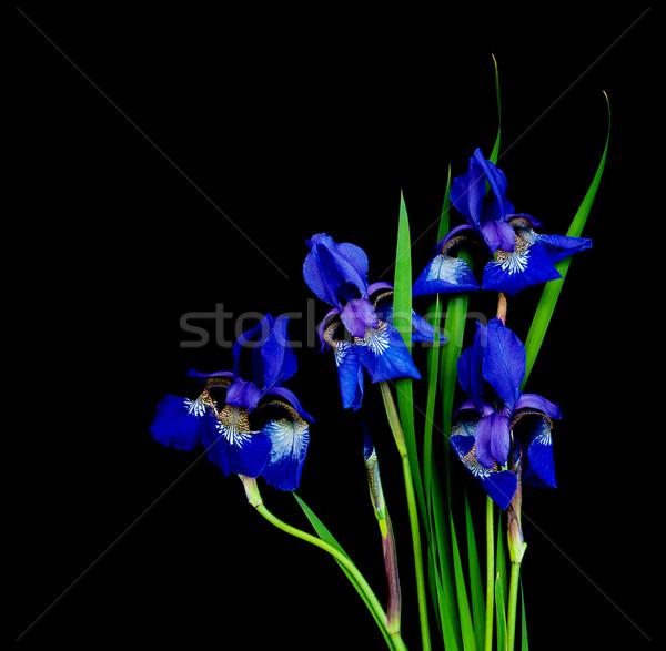 Iris цветы изолированный черный лист красоту Сток-фото © Es75