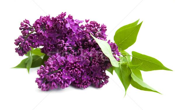 сирень цветы Purple белый дерево саду Сток-фото © Es75